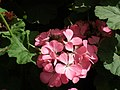 Geranium single from Lalbagh flower show Aug 2013 7912.JPG