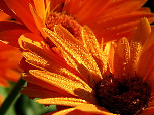 Gerber Daisy With Raindrops