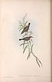 Gerygone levigaster by John Gould.jpg