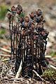 Ghost Plant (Monotropa uniflora) - Algonquin Provincial Park, Ontario.jpg