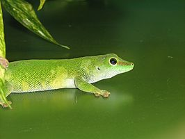 Giant Day Gecko Image 002.jpg