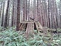 Giant Stumps - panoramio (3).jpg