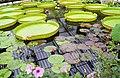 Giant water lily pads Royal Botanic Gardens, Kew. - geograph.org.uk - 486510.jpg