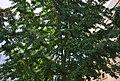 Ginkgo a la plaça del Convent, Dénia.jpg
