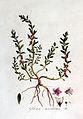 Glaux maritima — Flora Batava — Volume v2.jpg