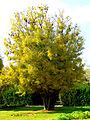 Gleditsia sinensis(siamak sabet) (2).jpg