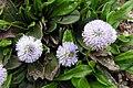 Globularia nudicaulis2.jpg