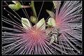 Glyphodes bivitralis (15033029432).jpg