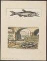Gobio fluviatilis - - Print - Iconographia Zoologica - Special Collections University of Amsterdam - UBA01 IZ15000110.tif