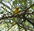 Golden Oriole Oriolus oriolus - Flickr - gailhampshire.jpg