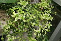 Goldfish Plant (Nematanthus) Golden West (3073334314).jpg