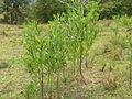 Gomphocarpus physocarpus habit3 (14603316926).jpg