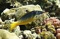 Gomphosus caeruleus; Female...DSCF4713WI.jpg
