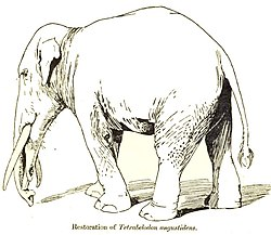 definition of gomphothere