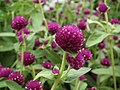 Gomphrena globosa from Lalbagh flower show Aug 2013 8120.JPG