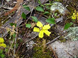 <i>Goodenia hederacea</i> Species of flowering plant