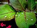 Gotas - folhas de uma roseira (258167261).jpg