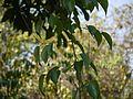 Gouania microcarpa DC. (6928699425).jpg