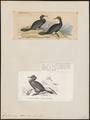 Graculus perspicillatus - 1700-1880 - Print - Iconographia Zoologica - Special Collections University of Amsterdam - UBA01 IZ18000089.tif