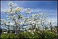 Grafton White Jacaranda-08 (22102124344).jpg