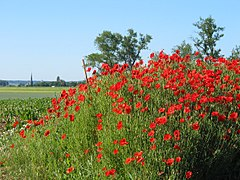 Poppy simple english wikipedia the free encyclopedia papaveraceae mightylinksfo