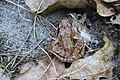 Grasfrosch Rana temporaria 5890.jpg