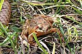 Grasfrosch Tannenzapfen 3.jpg