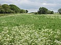Grass field with cow parsley by the Wing Road - geograph.org.uk - 437533.jpg