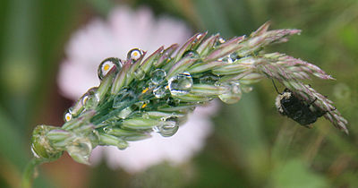 Grass with rain droplets in which flower is reflected.jpg