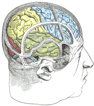 Angular gyrus - Drawing of a cast to illustrate the relations of the brain to the skull. (Angular gyrus labeled at upper left, in yellow section.)