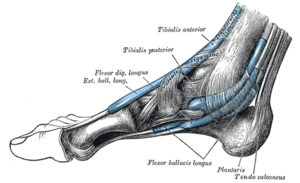 Plantaris muscle - The synovial sheaths of the tendons around the ankle. Medial aspect. (Tendon of Plantaris labeled at bottom right.)