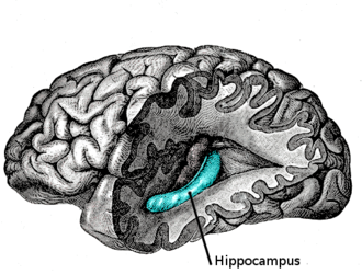 Interference theory - Hippocampus highlighted in blue