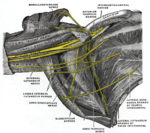The right brachial plexus (infraclavicular portion) in the axillary fossa; viewed from below and in front.