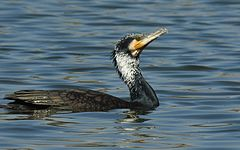 240px great cormorant phalacrocorax carbo by dr. raju kasambe dscn3804 (1)
