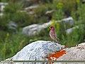 Great Rosefinch (Carpodacus rubicilla) (27798678021).jpg