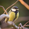 Great tit (31098569693).jpg