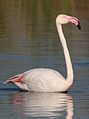 Greater Flamingo, Phoenicopterus roseus at Marievale Nature Reserve, Gauteng, South Africa (27289975813).jpg