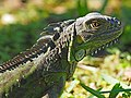 Green Iguana - Iguana iguana, Fairchild Tropical Gardens, Coral Gables, Florida (38870548652).jpg