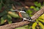 Green kingfisher (Chloroceryle americana) male 3.jpg