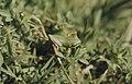 Green tree frog by fierce mountain river, Gorge de Foum, Morocco (37046955974).jpg