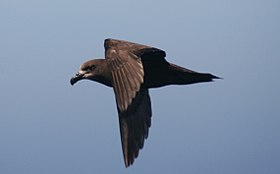 Grey-faced petrel.JPG