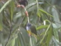 File:Grey-headed Canary Flycatcher.ogv