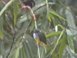 Dosiero:Grey-headed Canary Flycatcher.ogv