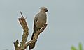 Grey Go-Away-Bird (Corythaixoides concolor) (5997848318).jpg