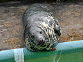 Grey Seal at Gweek 1.jpg