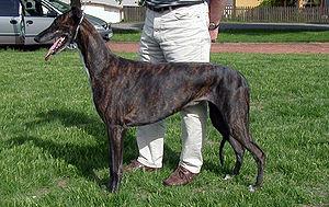 Greyhound nor1-tb