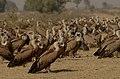 Griffon vultures gyps fulvusJEG4853.jpg