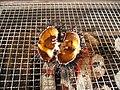 Grilled Sea Urchin Japanese YakiUni.jp.jpg
