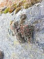 Grimmia pulvinata 126382386.jpg