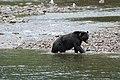 Grizzly on the Nekite River - panoramio - Jack Borno (3).jpg